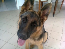 Isis, chien Berger allemand