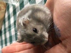 Isis, rongeur Hamster