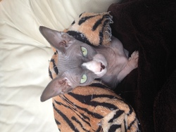 Isis, chat Sphynx