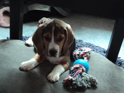 Isis, chien Beagle