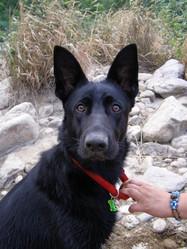 Isis Du Domaine De Chôdes, chien Berger allemand