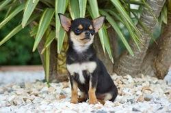 Isis Des Joyaux Divins, chien Chihuahua