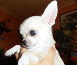 Isiwun, chien Chihuahua