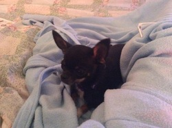 Isix, chien Chihuahua