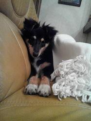 Iska, chien Berger des Shetland