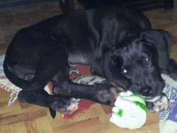 Iska, chien Dogue allemand