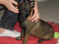 Iska, chien Berger belge