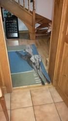 Iska, chien Braque de Weimar