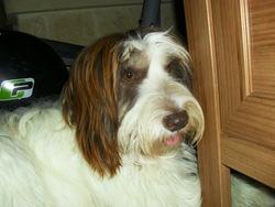 Iska, chien Berger polonais de plaine