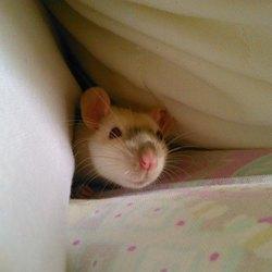 Iska, rongeur Rat