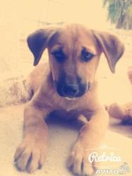 Mauzart, chien Labrador Retriever