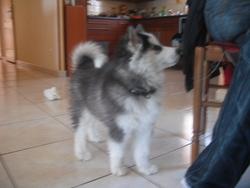 Iska, chien Husky sibérien