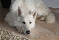 Iska, chien Berger blanc suisse