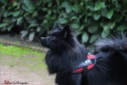 Iska, chien Spitz allemand