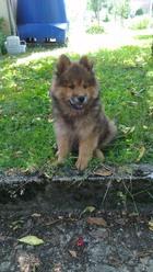 Iska, chien Eurasier