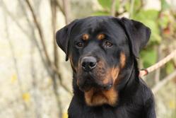 Iska Du Domaine De La Rêverie, chien Rottweiler