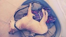 Iské, chien Golden Retriever