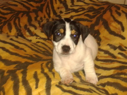 Isko, chien Jack Russell Terrier