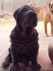 Isko, chien Shar Pei