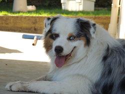Isko Blue Des Gardiens D'Hadès, chien Berger australien