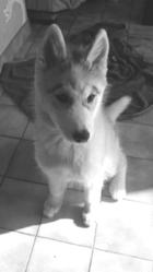 Isko, chien Husky sibérien