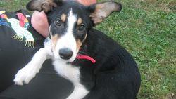 Isko, chien Border Collie