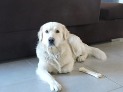 Isko, chien Golden Retriever