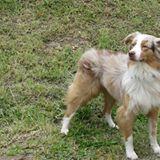 Isko, chien Berger australien