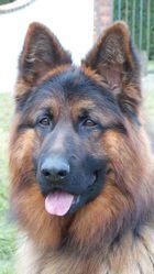 Isko Du Jardin De Mesoz, chien Berger allemand