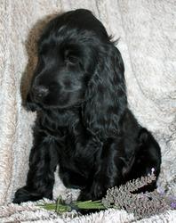 Islo, chien Cocker anglais