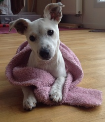 Isly, chien Jack Russell Terrier