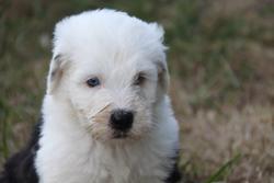 Ismael, chien Bobtail