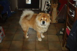Isno, chien Chow-Chow