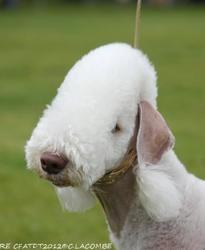 Isotop'S Famous Icon Dite Tsarine, chien Bedlington Terrier