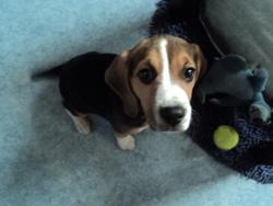 Isis, chien Beagle