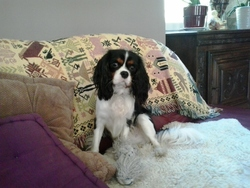 Istu, chien Cavalier King Charles Spaniel
