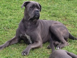Isy, chien Cane Corso