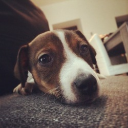 Isysse, chien Jack Russell Terrier