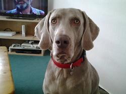 Itak, chien Braque de Weimar