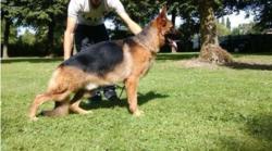Italo Du Domaine Du Parc, chien Berger allemand