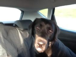 Itch, chien Labrador Retriever