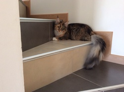 Itchy, chat Maine Coon