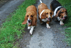 Itchy, Inès, Fistoul, chien Basset Hound