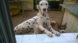 Iteck, chien Dalmatien