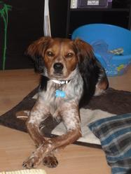 Itek, chien Épagneul breton