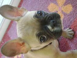 Ithy, chien Bouledogue français