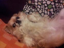 Iti, chien Chihuahua