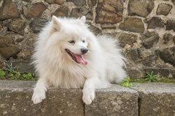 Ito, chien Spitz japonais
