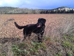 Itou, chien Labrador Retriever