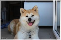 Itsuki, chien Akita Inu